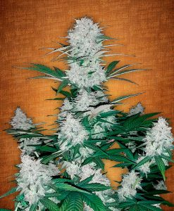 Six Shooter feminised seeds