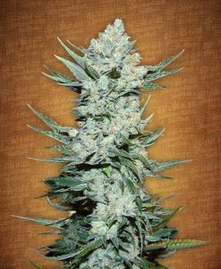Tangie'matic feminised seeds