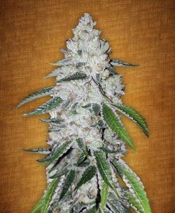 West Coast O.G. feminised seeds