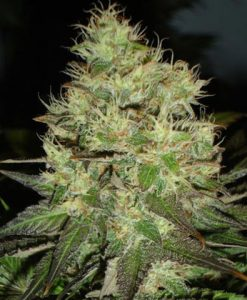 JACK HERER FEMALE
