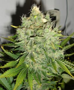 PEPPERJACK HAZE FEMALE