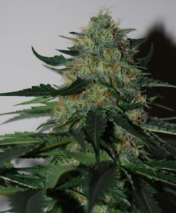 PINEAPPLE GUM FEMALE
