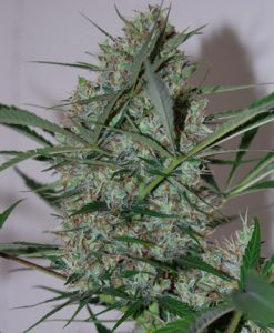SPEED HAZE FEMALE